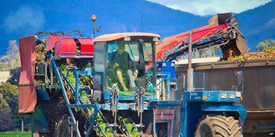 carrot-harvesting